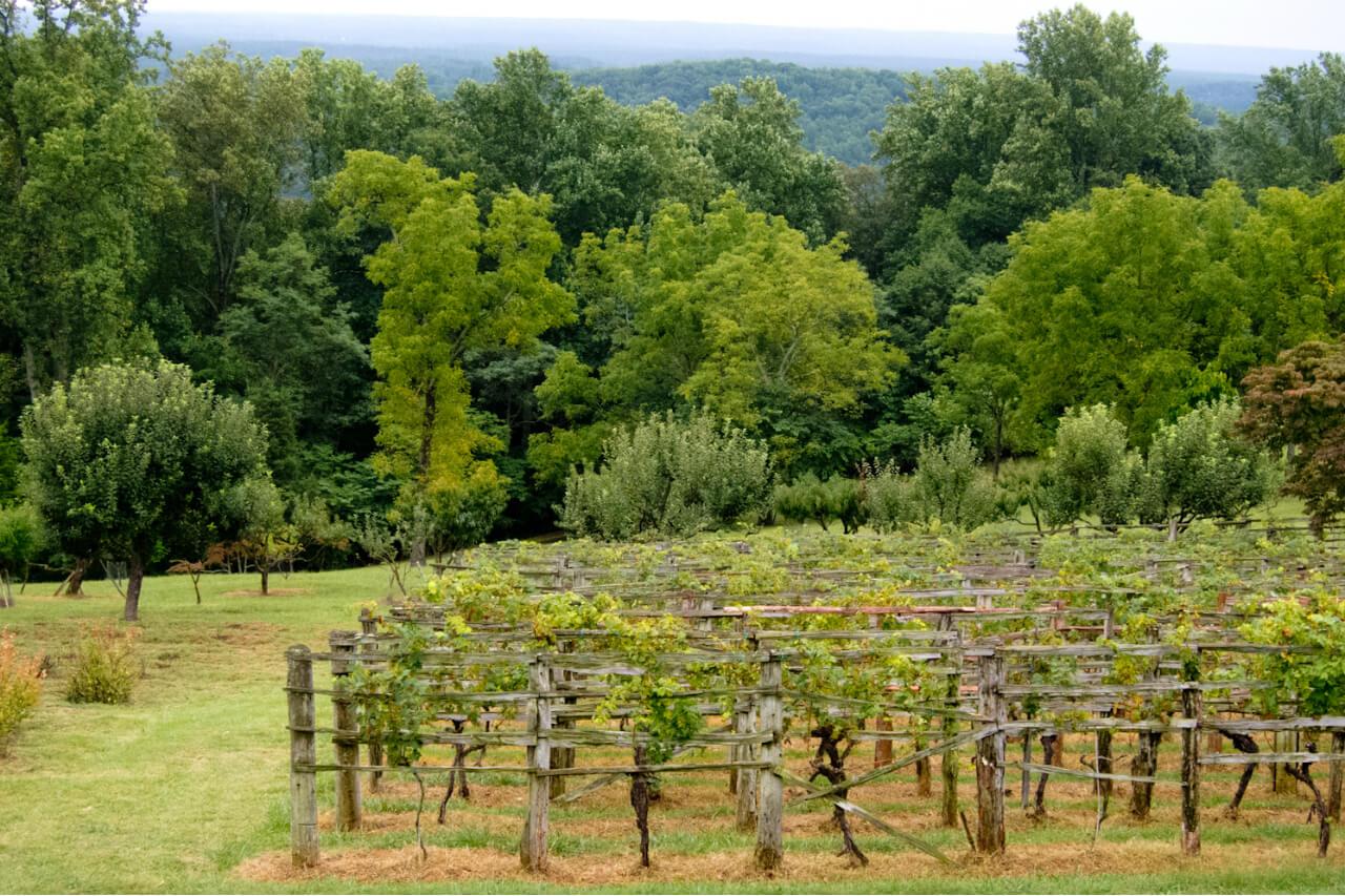 A hillside vineyard at Thomas Jefferson's Monticello in Charlottesville, Virginia. Credit: Copyright 2015 Susan Lutz